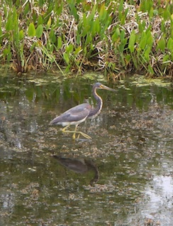 Cute little heron