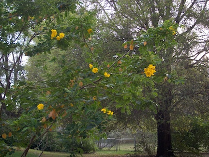 yellowflower tree