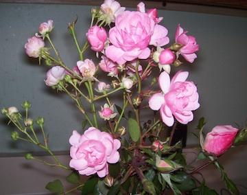 Nov roses