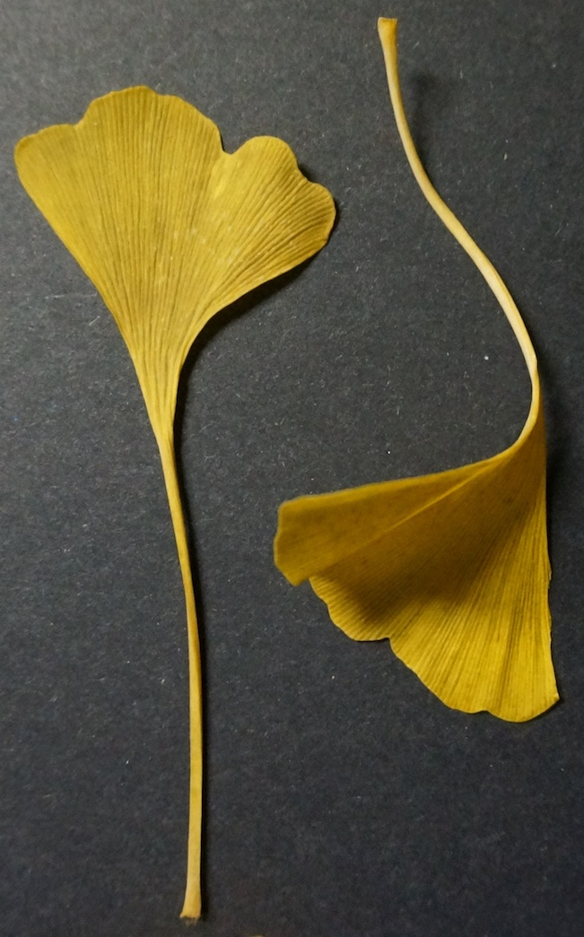 Golden Gingkoes 2