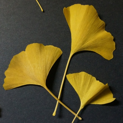 Golden Gingkoes