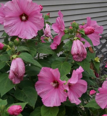 Hibiscus 15 1
