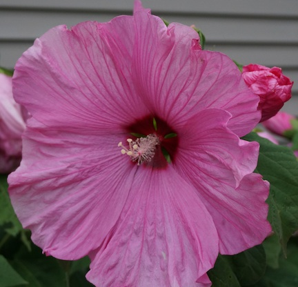 Hibiscus 15 2