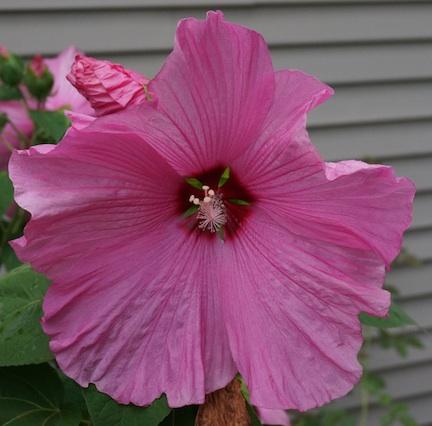 Hibiscus 15 3
