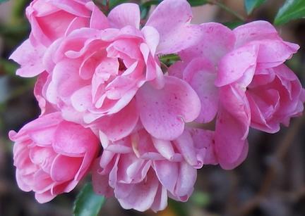 16-oct-roses